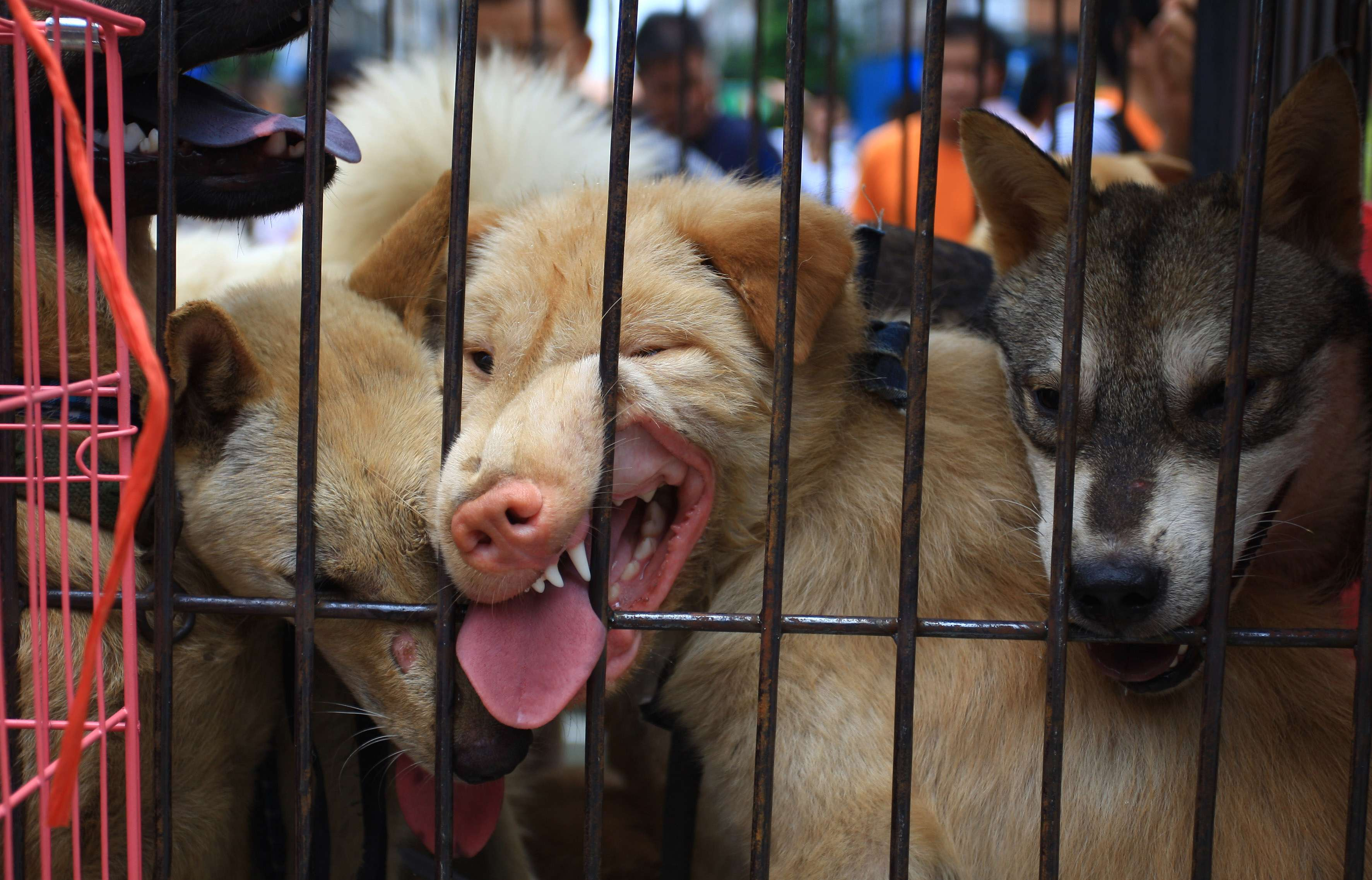 How Yulin dog rescuer Marc Ching went from hero to hounded