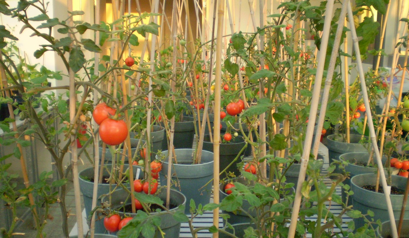 Masking tomatoes in open ground. Cultivation, care. Secrets and Tips 59