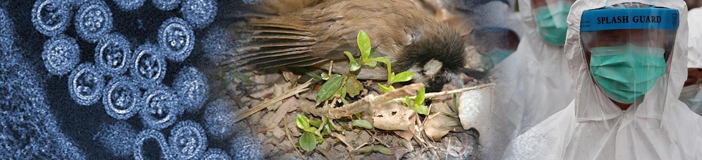 Flu asian avian
