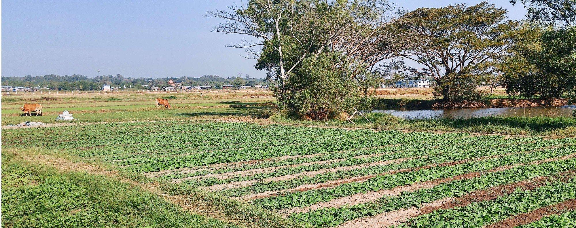 A Paw San rice field in Myanmar. Photo; Karim Raslan.
