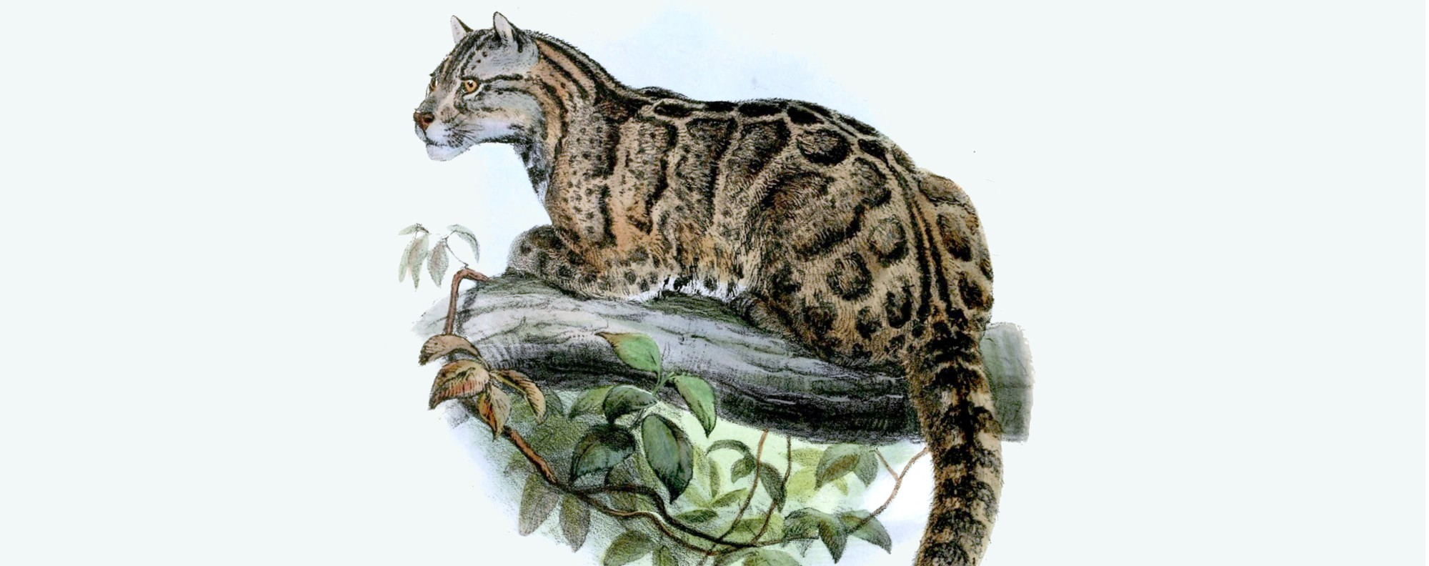 An 1862 drawing of a Formosan clouded leopard.