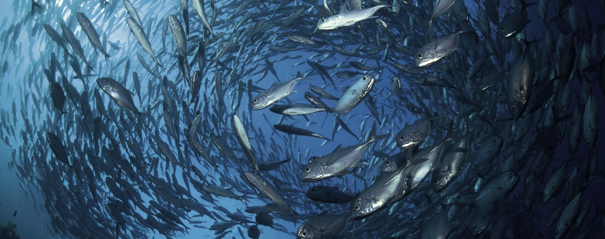 Bigeye jacks call the Indian and Pacific oceans home. Photo: WWF