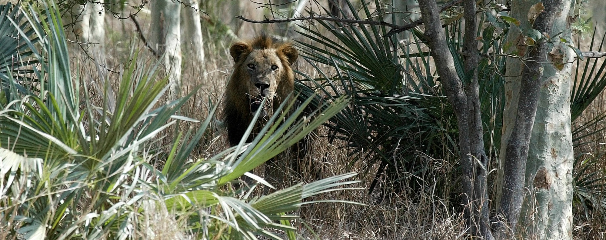 A male lion in Gorongosa National Park, in Mozambique.