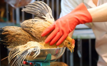 Chickens raised on farms in Hong Kong currently require two injections against the H5 virus. Photo: David Wong