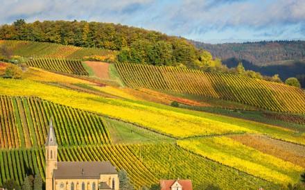 Vineyards in Pfalz, Germany.