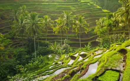 Rice paddies in Bali.