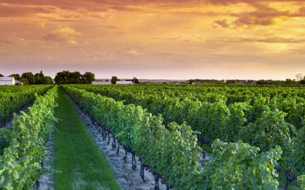e. Ontario's vineyards produce about two-thirds of the wine grapes in Canada, with the Niagara Peninsula contributing about 90 per cent of this. Photo: Wine Marketing Association of Ontario