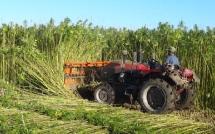 A farmer in Sunwu county, Heilongjiang province, harvests a crop of cannabis plants. Photo: Sunwu county government