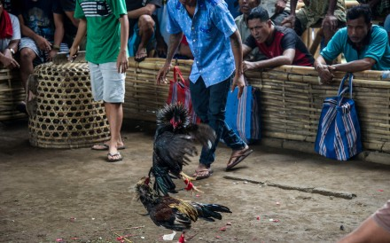 Cockfighting is illegal in Bali, except for religious purposes, where it is treated as a sacrifice. Photo: AFP Photo: AFP
