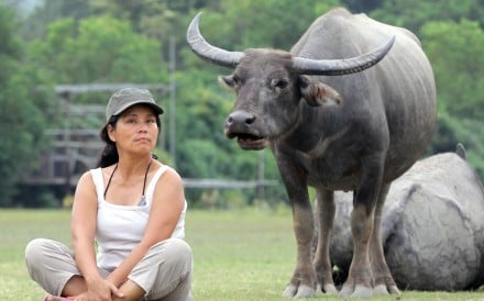 Wild brown cattle and water buffaloes continue to stray into urban areas despite government efforts to keep them out