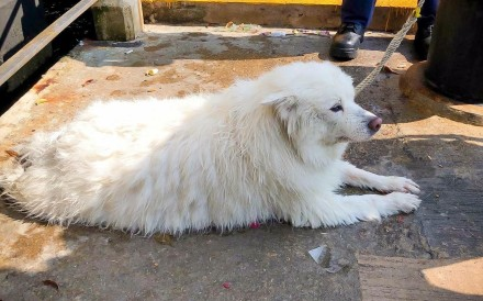 A Japanese spitz was thrown from the roof of a building in Cheung Sha Wan. It had been rescued from Victoria Harbour just a few days earlier. Photo: Handout