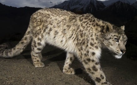 A remote camera captures a snow leopard at Hemis National Park in Ladakh, in India's Jammu and Kashmir state. Photo: Steve Winter/National Geographic