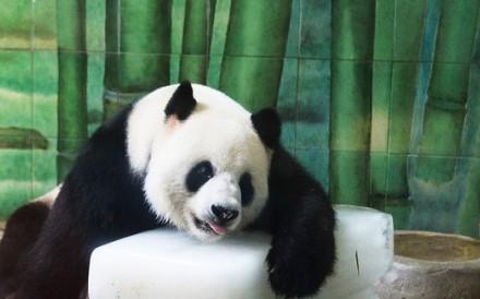 Giant panda Weiwei had been Wuhan Zoo's only panda since 2008. Photo: Weibo