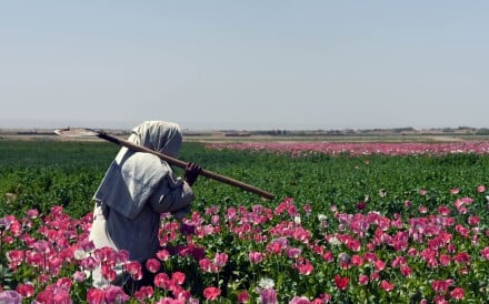 An Afghan farmer walks through a poppy field in Kandahar province. Afghanistan accounts for the overwhelming majority of the world's opium production. Photo: AFP