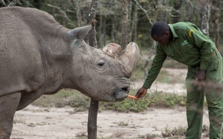 Scientists have grown embryos containing the DNA of Sudan (pictured), the last male northern white rhino, who recently died. Photo: Reuters