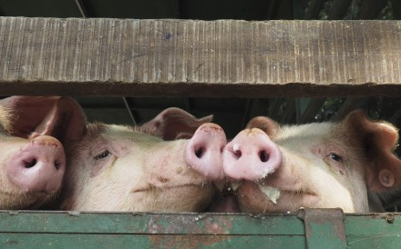 The route of African swine fever may raise concerns that the disease is spreading by road to markets and farms. Photo: SCMP