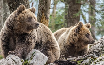 Brown bears in a Slovenian forest. Alamy Stock Photo