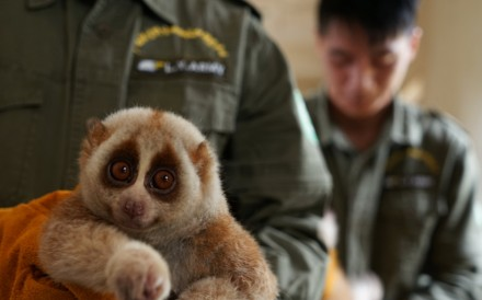 "A slow loris at a wildlife rescue and rehabilitation centre in Nanning, China, in April 2017. A slow loris was among more than 19 animals recovered from a self-proclaimed ""animal-lover"" in Hong Kong. Photo: Reuters"