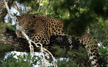 Official estimates suggest there are between 12,000 and 14,000 leopards in India. Photo: Alamy