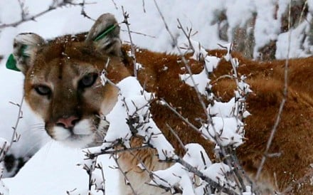 A mountain lion in the foothills outside Golden, Colorado. File photo: Reuters