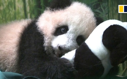 Two panda cubs were born in July, 2018 at the Chimelong Safari Park in Guangzhou, in southern China. One of them, Ting Zai, is now learning to take her first steps. The two cubs already have a full...