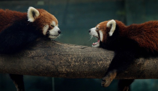 'It was like a mini wildlife park': Chinese police bust smugglers selling red pandas and gibbons online. Aquarium boss among 20 suspects held on suspicion of selling protected species through social media.