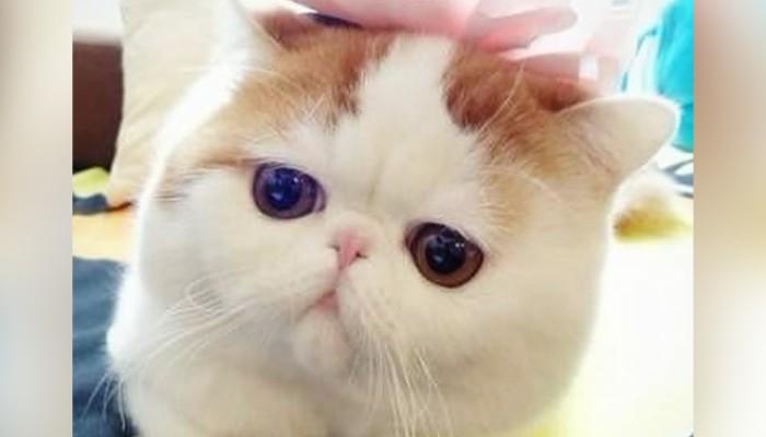 ba2878392de9 Chinese woman buys 'dream' American Shorthair kitten online, but ...