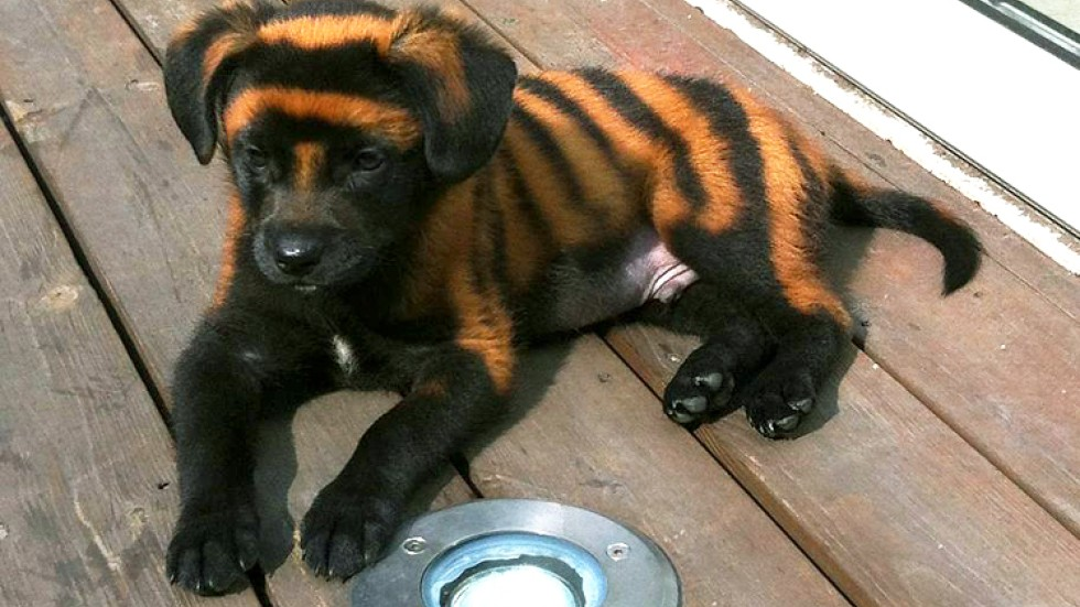 How To Paint Your Dog Like A Tiger