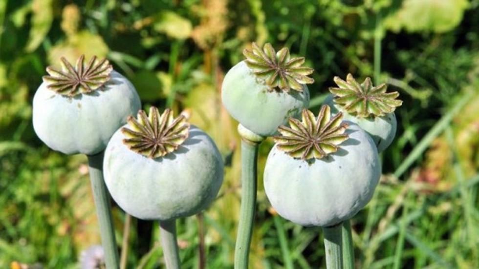 Asian opium poppy plant