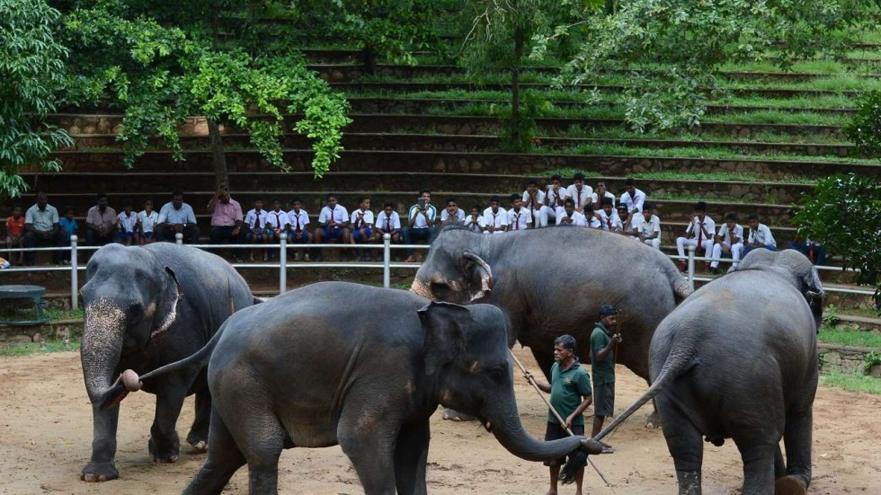Baby Elephants Have Become Latest Status Symbol For Sri Lankas