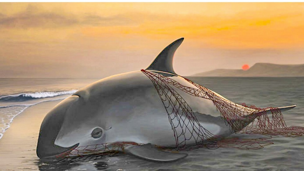 Ambitious Move To Save World S Smallest Porpoise Led By