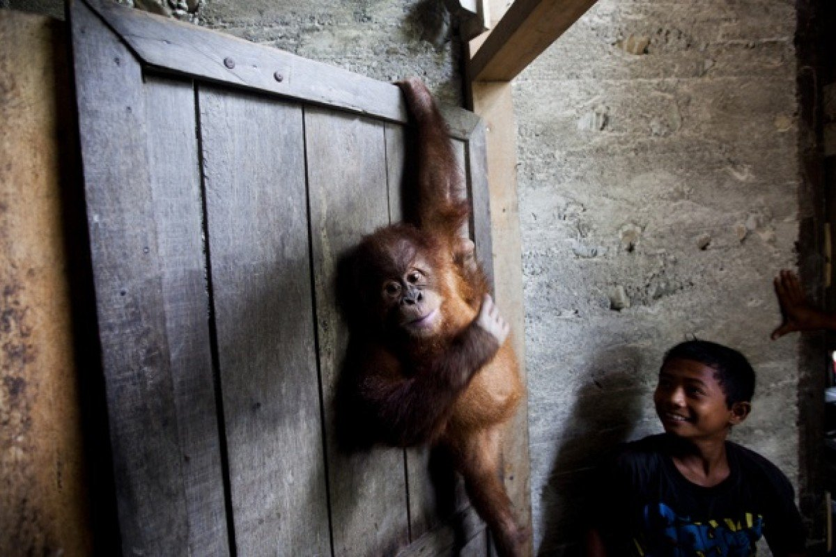 Rahul, a young orang-utan who was kept as a pet in a village on the edge of the forest.