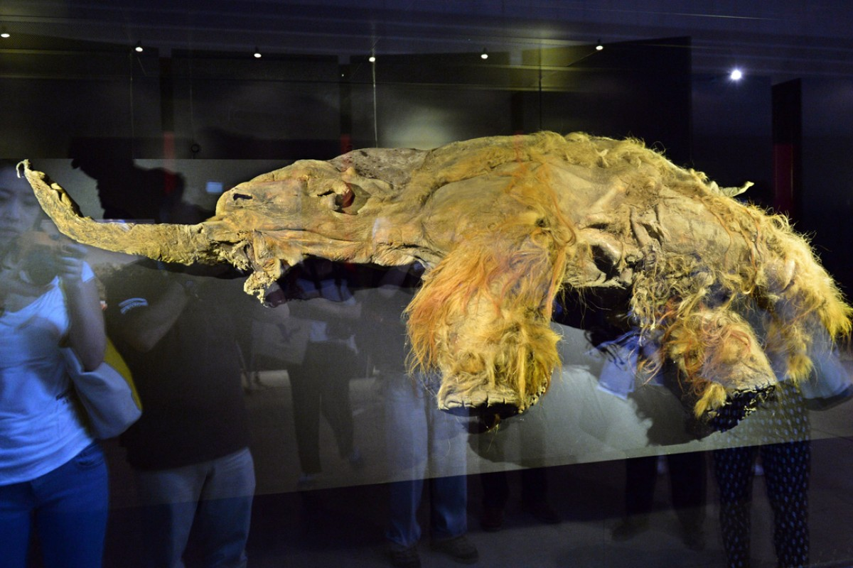 The frozen carcass of Yuka, a 39,000-year-old female woolly mammoth found in the Siberian permafrost and on display in Tokyo in July.