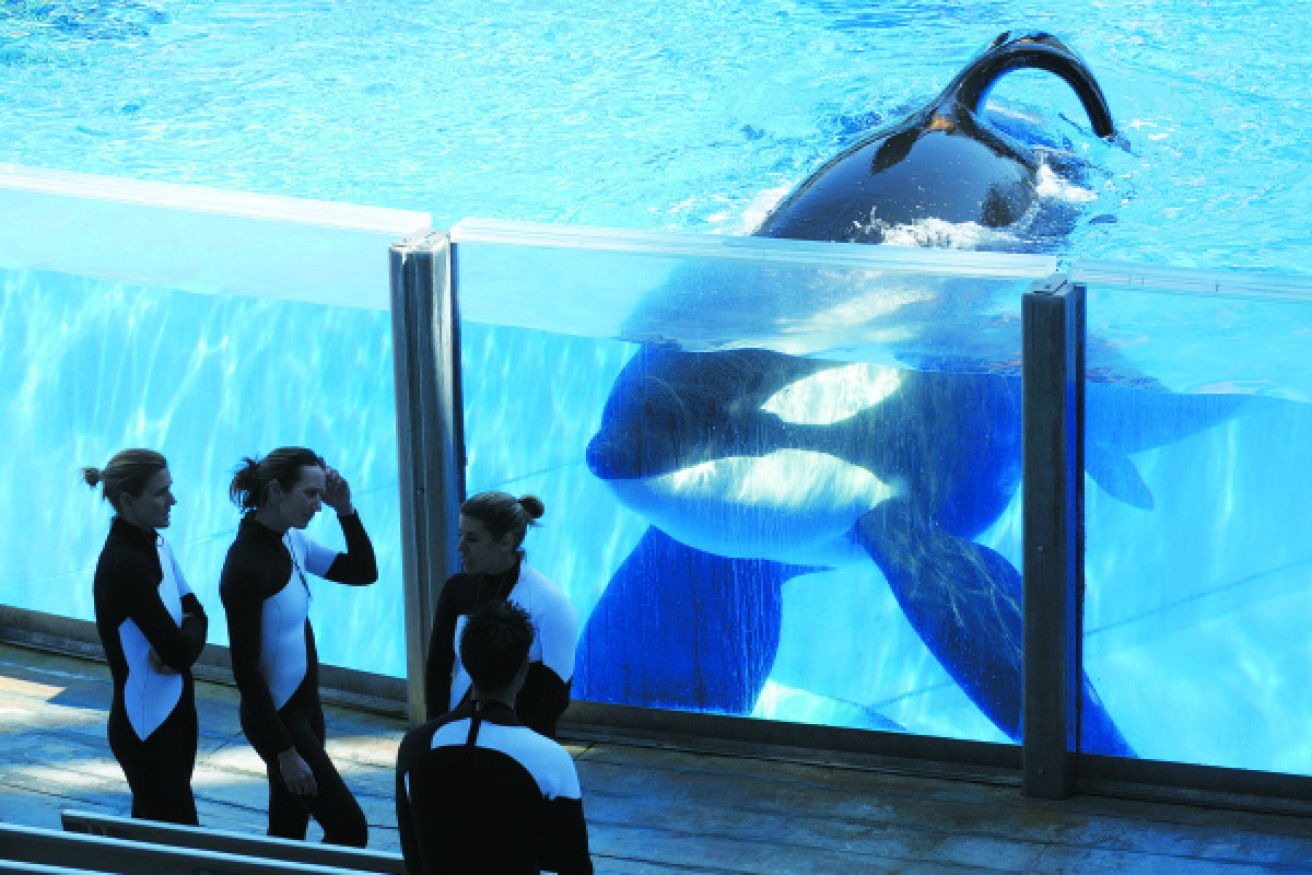Killer whale Tilikum and trainers at SeaWorld in Orlando, Florida, in 2011.