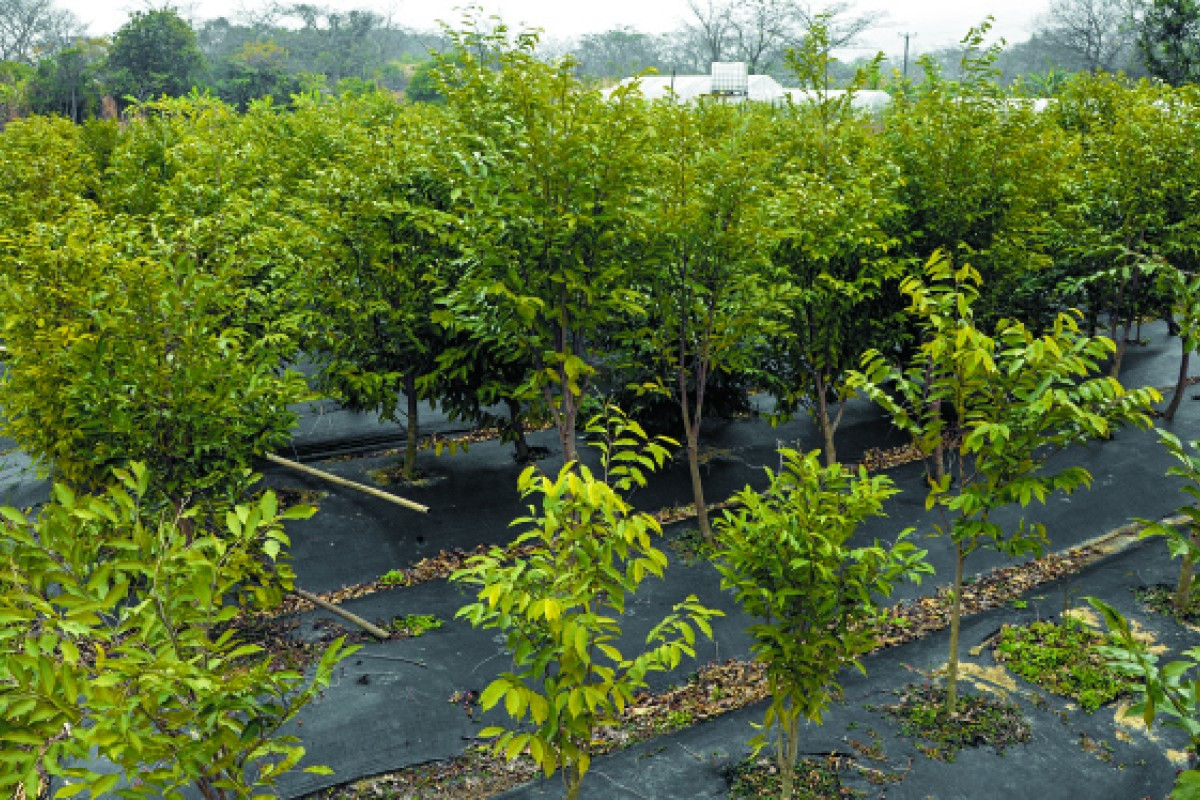 Chan's agarwood plantation.