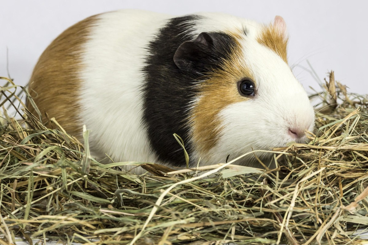 Guinea pigs can purr like a cat when being held or petted. Photos: Thinkstock