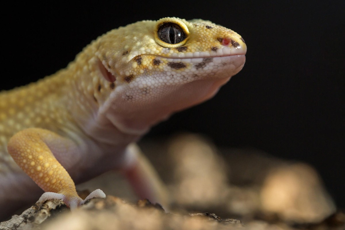 A leopard gecko is an ideal pet for first-time reptile owners. Photos: Thinkstock
