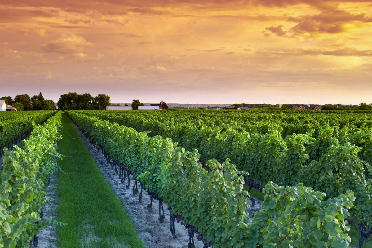 PondView Estate Winery, Niagara-on-the-Lake. Ontario's vineyards produce about two-thirds of the wine grapes in Canada, with the Niagara Peninsula contributing about 90 per cent of this