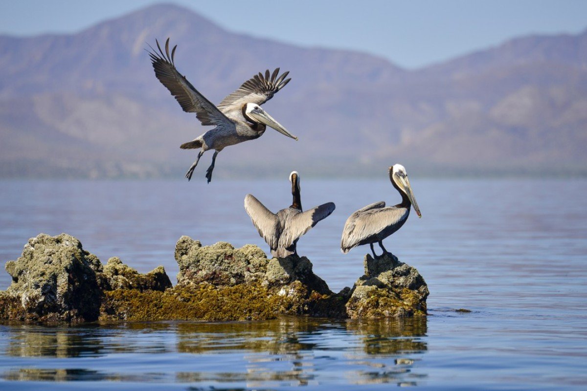 Pelicans rest on a rock, in the Sea of Cortez. Pictures: Nick Walton