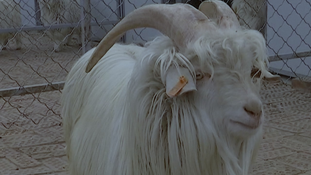 This cloned goat could shake up the cashmere industry