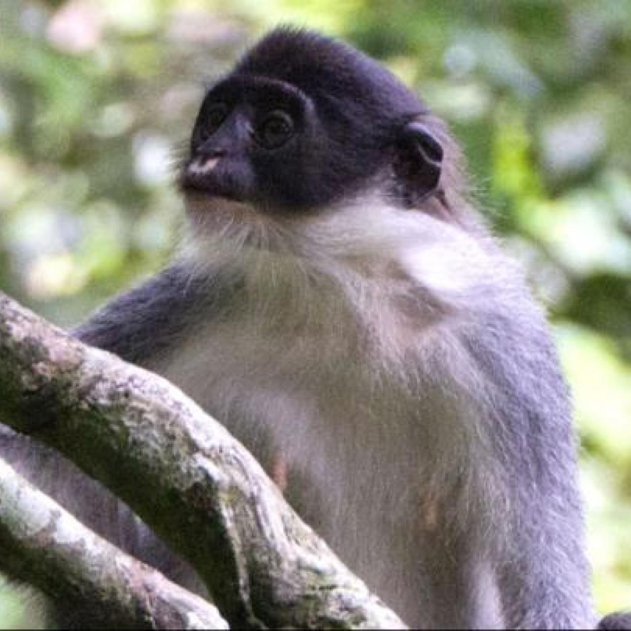 New Delhi abandons its langur monkey 'protection squad