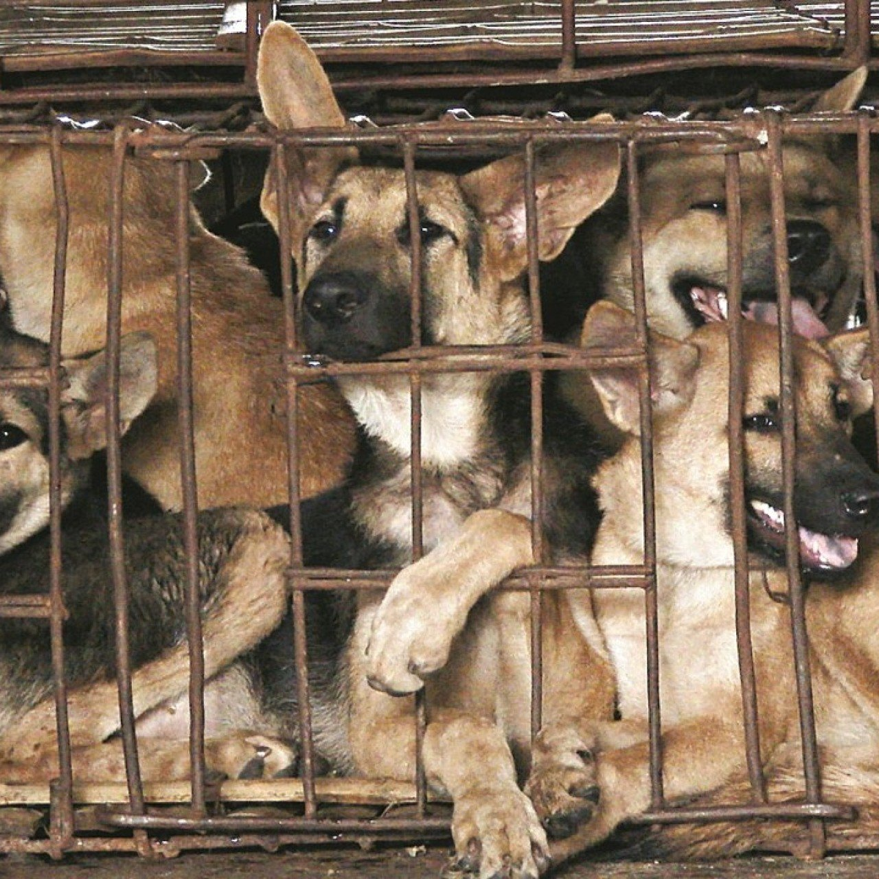 Asia's booming dog meat business and the activists seeking