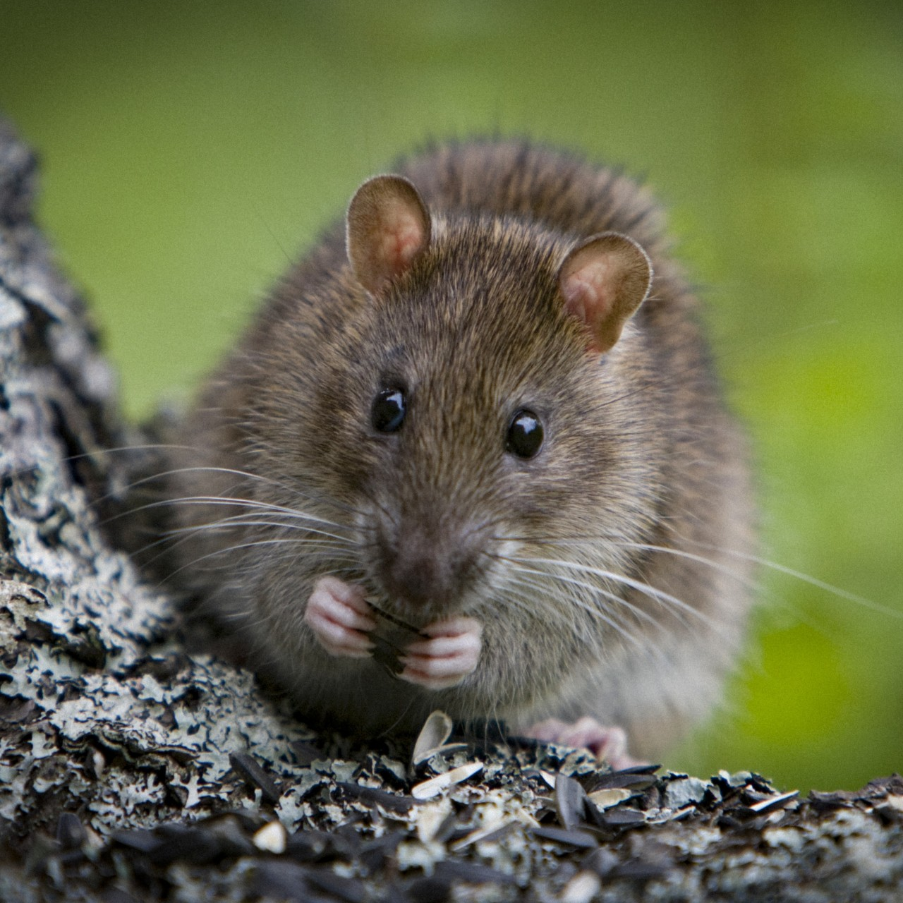 Canada reports world's first case of rat-to-human hepatitis